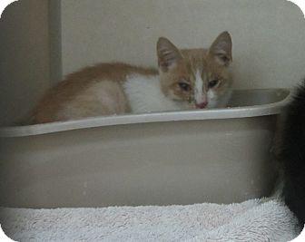 Domestic Mediumhair Kitten for adoption in Westminster, California - Swiper