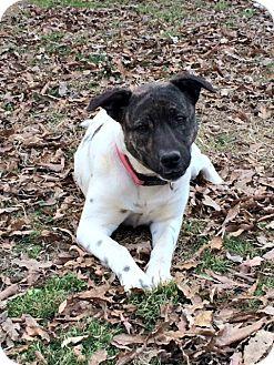 Terrier (Unknown Type, Medium) Mix Dog for adoption in Brattleboro, Vermont - Eva