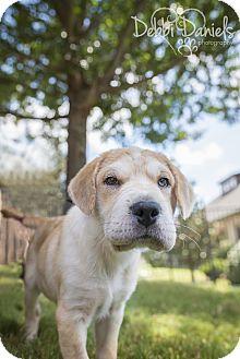 Labrador Retriever/Shar Pei Mix Dog for adoption in McKinney, Texas - Hank