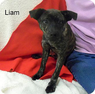 Black Mouth Cur Mix Puppy for adoption in Slidell, Louisiana - Liam
