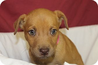 Labrador Retriever Mix Puppy for adoption in Waldorf, Maryland - Hazel