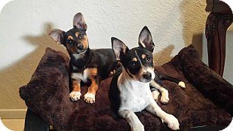 Australian Cattle Dog/Rat Terrier Mix Puppy for adoption in San Dimas, California - Noel (on right side  white)