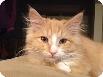 Domestic Longhair Kitten for adoption in Knoxville, Tennessee - Ariel