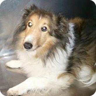 Sheltie, Shetland Sheepdog Dog for adoption in COLUMBUS, Ohio - Sissy Jo