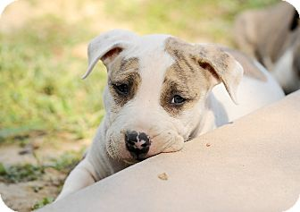 Pit Bull Terrier Mix Puppy for adoption in Mission Viejo, California - Brady