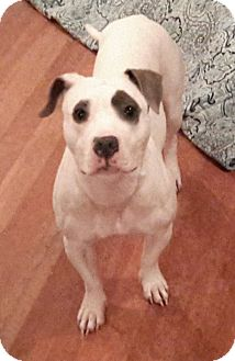 Basset Hound/Pit Bull Terrier Mix Dog for adoption in Greenville, North Carolina - Dori