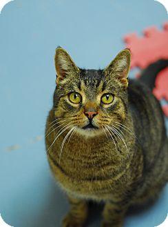 Domestic Shorthair Cat for adoption in Everett, Ontario - Dell