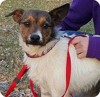 Jack Russell Terrier Mix Dog for adoption in WESTMINSTER, Maryland - Lucille