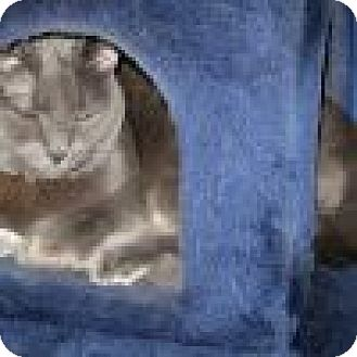 Domestic Shorthair Cat for adoption in Powell, Ohio - Roscoe