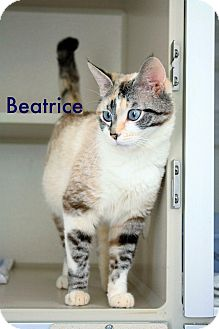 Siamese Cat for adoption in Canyon Country, California - Beatrice