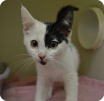 Domestic Shorthair Kitten for adoption in Buena Vista, Colorado - Fargo