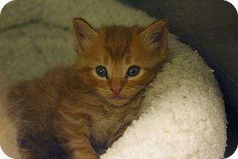 Domestic Shorthair Kitten for adoption in Odessa, Texas - KH02 LUCKY