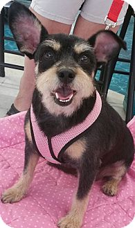 Schnauzer (Miniature)/Cairn Terrier Mix Dog for adoption in Phoenix, Arizona - Mia