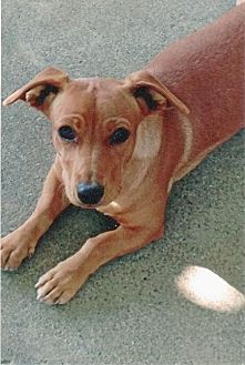 Dachshund/Hound (Unknown Type) Mix Dog for adoption in Half Moon Bay, California - Cooky