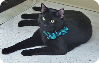 Domestic Shorthair Cat for adoption in Chambersburg, Pennsylvania - Lucifer