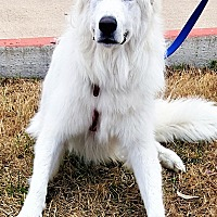 Great Pyrenees Dog for adoption in Kyle, Texas - Maximus