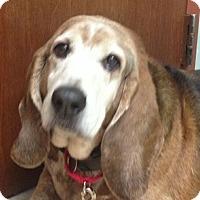 Adopt A Pet :: Bo Wrinkles - Barrington, IL