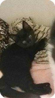 Domestic Shorthair Kitten for adoption in Hamilton, New Jersey - HARPER