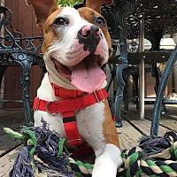 Adopt A Pet :: Tugs - Wheaton, IL