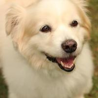 Adopt A Pet :: Scrappy - Media, PA
