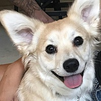 Adopt A Pet :: Opie - Oakley, CA