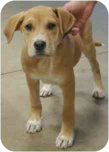Hound (Unknown Type)/Labrador Retriever Mix Puppy for adoption in Wake Forest, North Carolina - Lenny