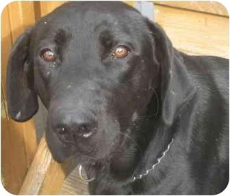 Labrador Retriever Dog for adoption in Chicago, Illinois - BooBoo (ADOPTED!)
