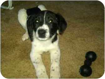 Border Collie Mix Puppy for adoption in Lafayette, Indiana - Boomer