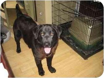 Newfoundland/Labrador Retriever Mix Dog for adoption in Overland Park, Kansas - Gus