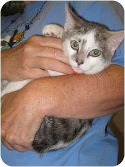 Siamese Kitten for adoption in Randolph, New Jersey - Pogo