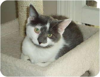 Domestic Shorthair Kitten for adoption in Westfield, Massachusetts - Chrissy