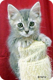 Domestic Shorthair Kitten for adoption in Republic, Washington - Sapphire