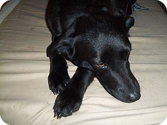 Labrador Retriever Mix Dog for adoption in Somers, Connecticut - Bella Boo