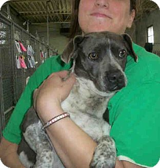 Terrier (Unknown Type, Small) Mix Dog for adoption in Las Vegas, Nevada - Blue