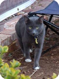 Russian Blue Cat for adoption in El Dorado Hills, California - Nomad