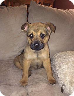Shepherd (Unknown Type) Mix Puppy for adoption in Virginia Beach, Virginia - Darby