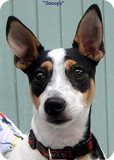 Jack Russell Terrier Mix Dog for adoption in Key Largo, Florida - Snoopy