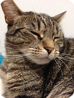 Domestic Shorthair Cat for adoption in Elmwood Park, New Jersey - Mimi