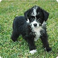Adopt A Pet :: Pepe - La Habra Heights, CA