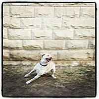 Adopt A Pet :: Scout - Fort Riley, KS