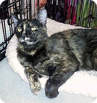 Domestic Shorthair Cat for adoption in Gilbert, Arizona - Jasmine
