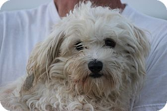 Maltese/Poodle (Miniature) Mix Dog for adoption in Coventry, Rhode Island - Missy