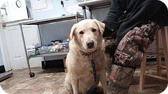 Labrador Retriever Mix Dog for adoption in Darlington, South Carolina - Tennessee