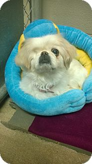 Pekingese/Shih Tzu Mix Dog for adoption in Bryan, Ohio - Angel