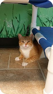 Domestic Shorthair Cat for adoption in Cody, Wyoming - Topaz