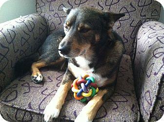 Shiba Inu/German Shepherd Dog Mix Dog for adoption in Santa Monica, California - Pookie