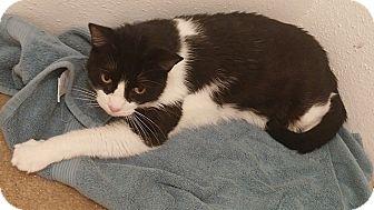Domestic Shorthair Cat for adoption in Tampa, Florida - Raindrop