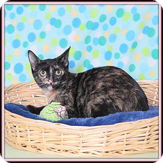 Domestic Shorthair Cat for adoption in Glendale, Arizona - Forte
