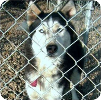 Siberian Husky Dog for adoption in Various Locations, Indiana - Onyx