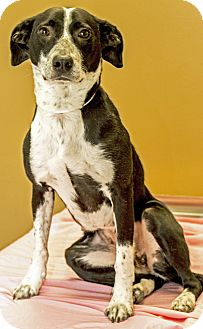 Australian Cattle Dog Mix Dog for adoption in Gahanna, Ohio - ADOPTED!!!   Beebee